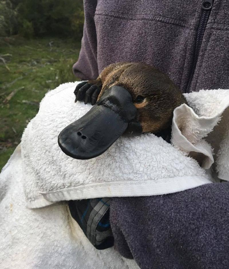 The platypus is being threatened by climate change (Picture: SWNS)