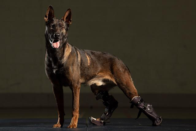 Hero Dog with Prosthetic Paws that Survived Gunfire to Save Others Given  Highest Animal Honor