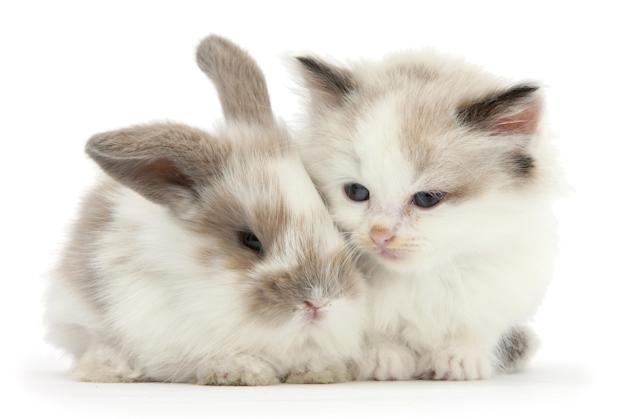<p>Colourpoint kitten with baby rabbit. (Photo: Warren photographic/Caters News) </p>