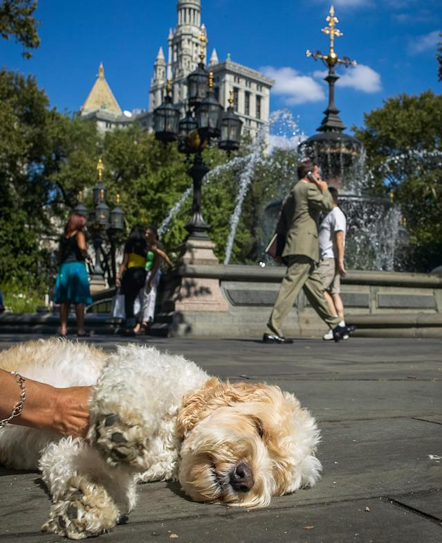 <p>Wheaten Terrier/Poodle mix enjoys some stroking and sun outside of NewYorks City Hall. (Photo: Mark McQueen/Caters News) </p>