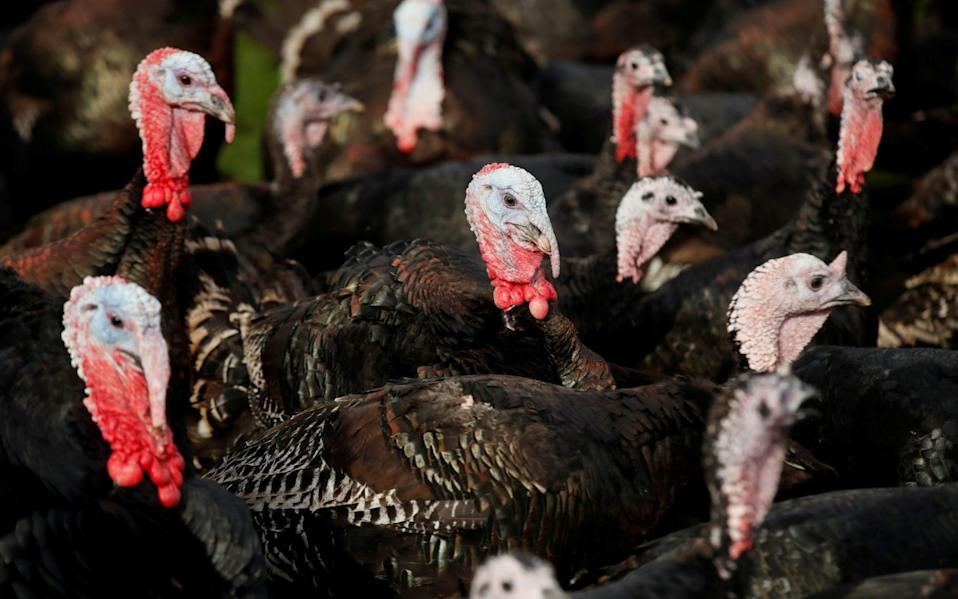 TurkeAlthough the Government claims there is no immediate risk to the festive supply chain, experts are concerned three farms have been infected with the virus in the past fortnight aloney farm - Matthew Childs/Reuters