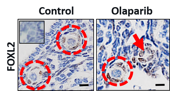 Primordial follicles containing eggs in a mouse ovary