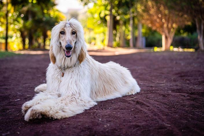 """<p>Just because a dog is considered hypoallergenic, doesn't mean they need to have short hair. <a href=""""https://www.akc.org/dog-breeds/afghan-hound/"""" rel=""""nofollow noopener"""" target=""""_blank"""" data-ylk=""""slk:Afghan Hounds"""" class=""""link rapid-noclick-resp"""">Afghan Hounds</a>, the AKC notes, are an ancient breed that present themselves in dignified and aloof ways. They're intelligent, independent, charming, and unwaveringly loyal to their owners. Because of their size and immense speed, Afghan Hounds require a large fenced in yard and exercise daily. But they're not the dog for everyone, so it's important to do your research before you decide on this infrequent shedder. <br></p>"""