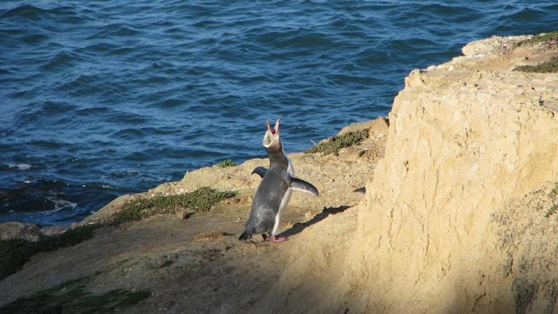 The endangered hoiho, or yellow-eyed penguin, has been voted New Zealand's favourite bird