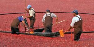 cranberry harvest nantucket photo by michael galvin 300x152 Gratitude makes you rich (free e book)