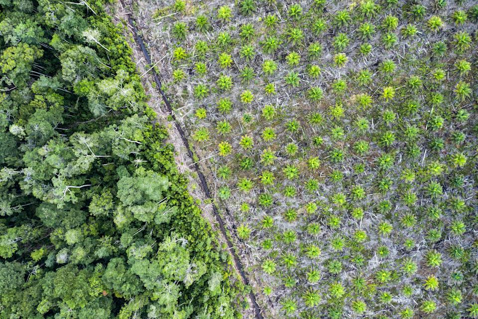Aerial view of a palm oil plantation in the province of Kalimantan, Borneo. The fruit of the oil palm tree produces a cheap, versatile oil used worldwide. (Photo: joakimbkk via Getty Images)