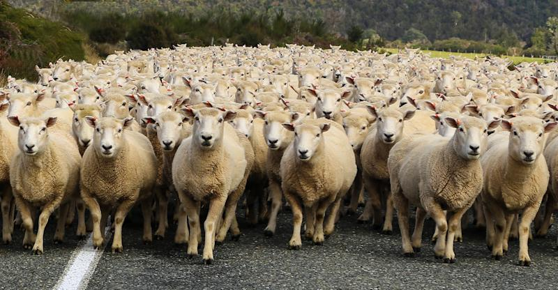 sheep heading down the road in New Zeakabd