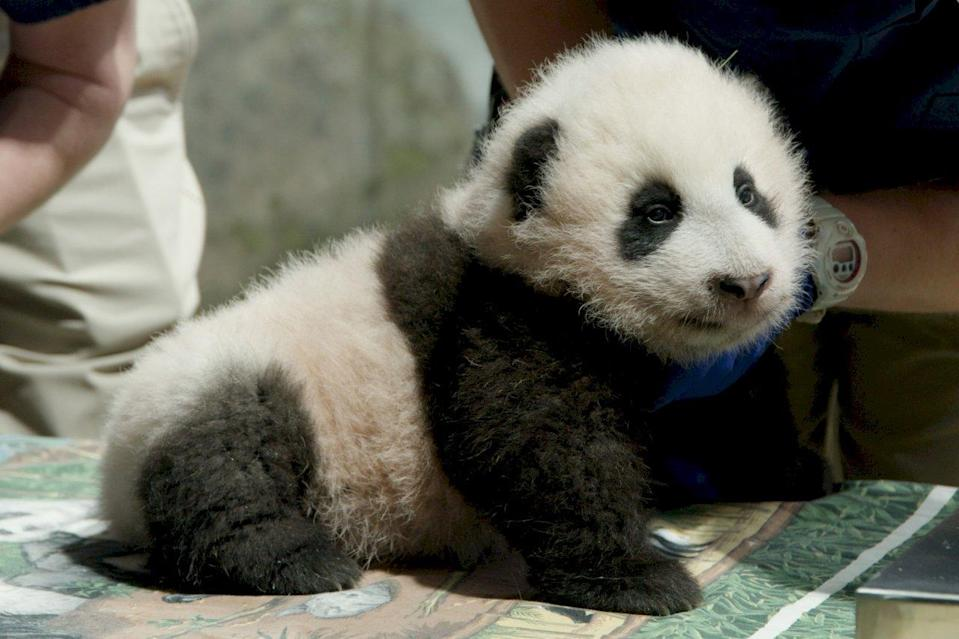 美國華府國家動物園(National Zoo)的貓熊寶寶─小奇蹟(Xiao Qi Ji)。(Photo by Roshan Patel, Smithsonian's National Zoo)