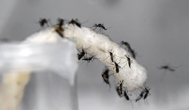 The mosquitoes were fed sugar but also infected with parasitic viruses. Photo: AFP