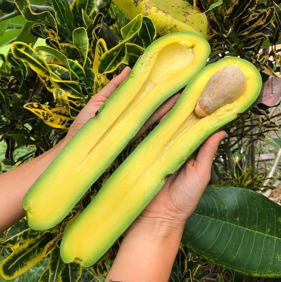 An enormous long neck avocado sliced in half. It's three times the length of the hand of the person holding it. The species are found in Florida.