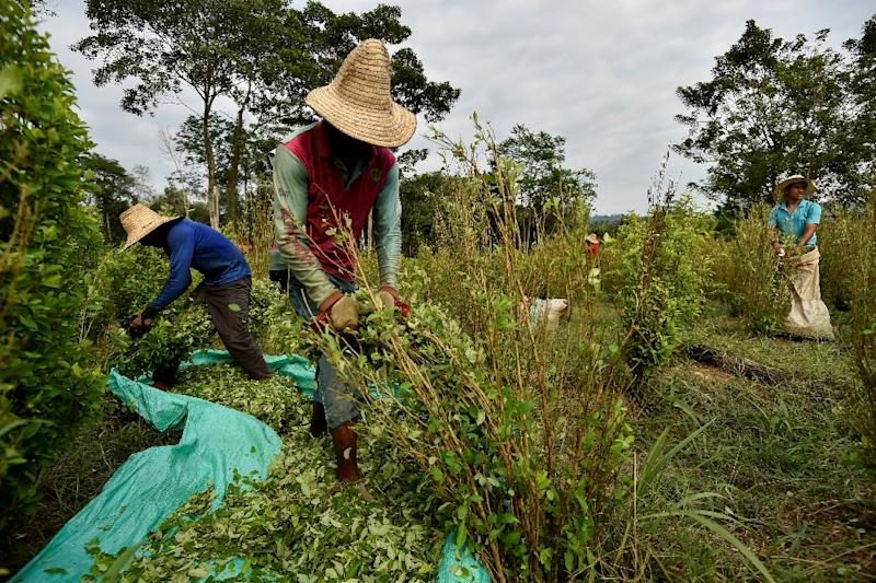 It's hard graft working in Colombian coca plantations but it earns $144 a month, more than most jobs available to Venezuelan migrants (AFP Photo/Luis ROBAYO)