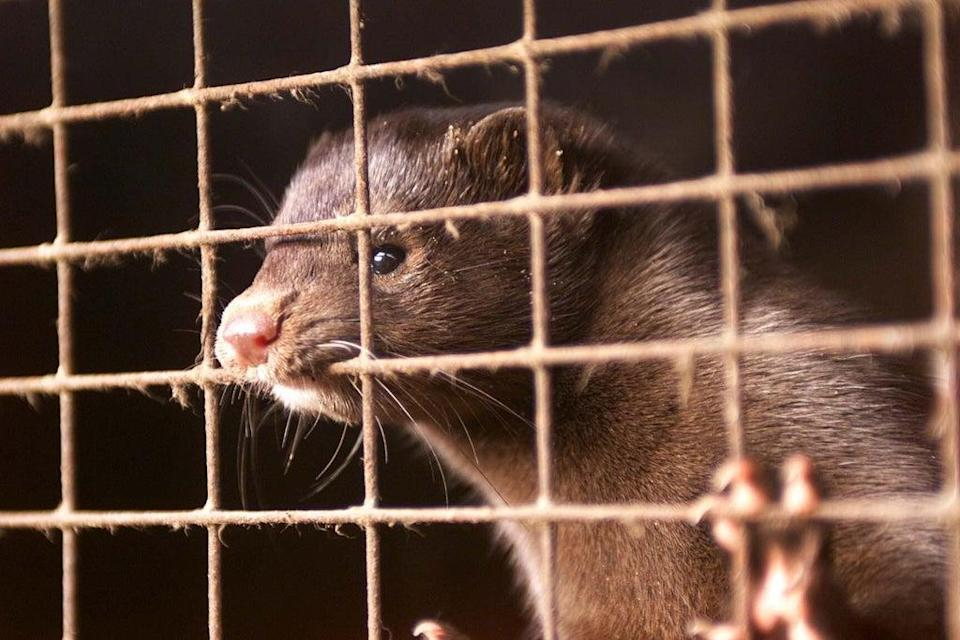 Farmed carnivores 'may become disease reservoirs posing human health risk' (Chris Ison/PA) (PA Archive)