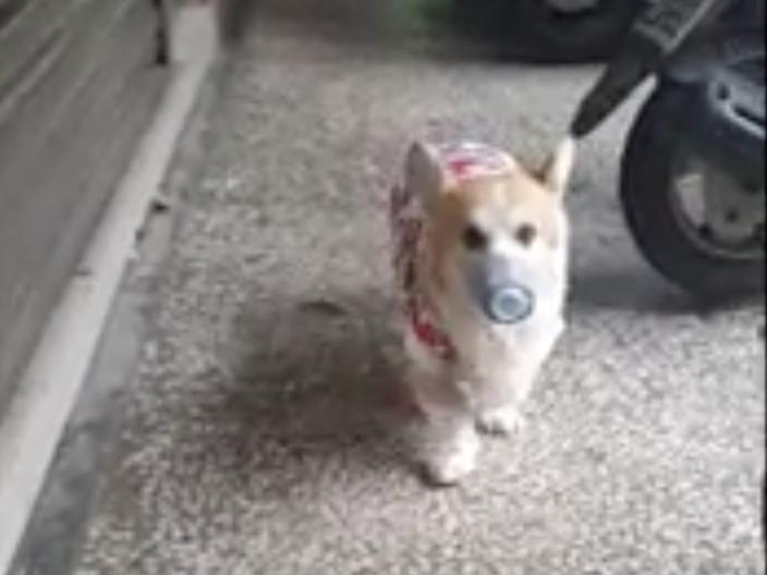 Corgi wearing face mask in Taiwan