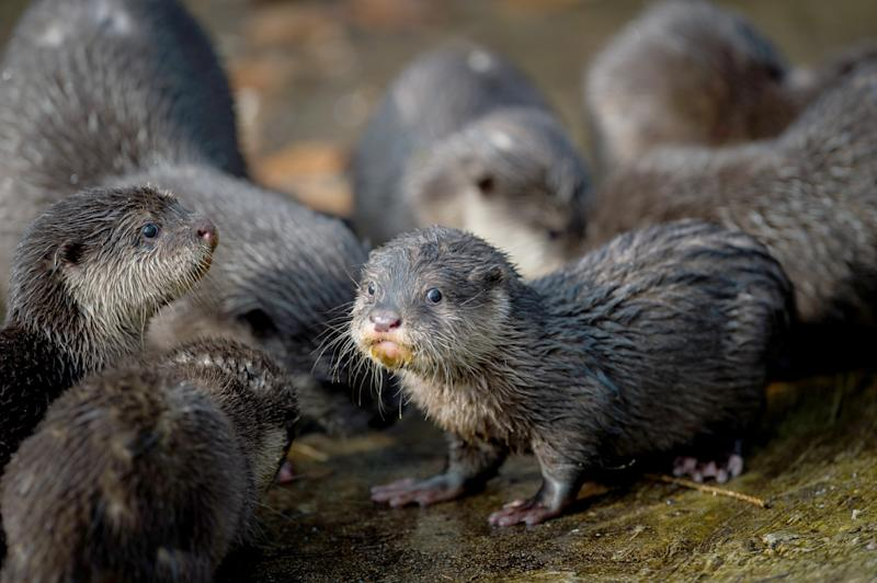 A group of otters looking at the camera at Neumuenster zoo.