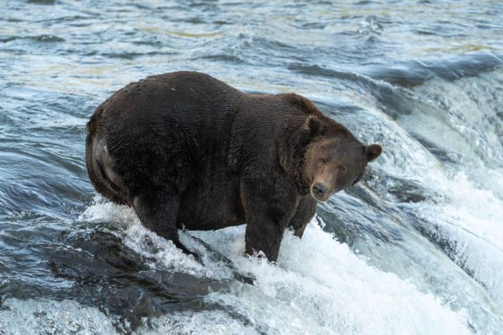 Brown bear 151 stands in a river hunting for salmon in Alaska
