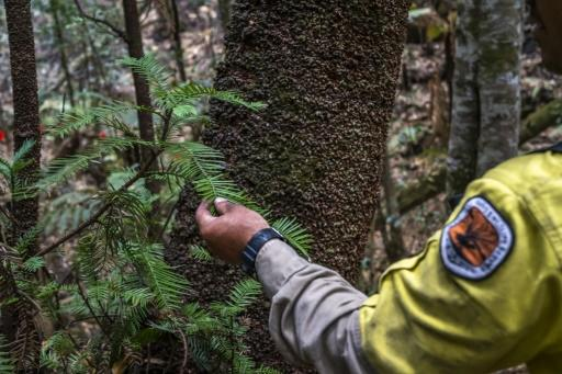 The pines, which fossil records indicate are more than 200 million years old -- pre-dating many dinosaurs -- were believed extinct until the Wollemi grove was discovered in 1994