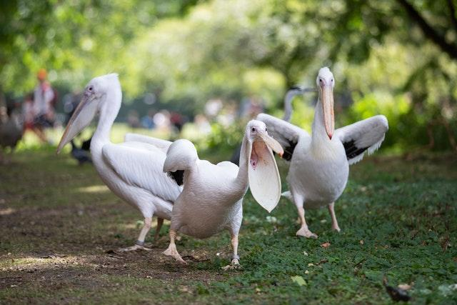 Pelicans at St James's Park