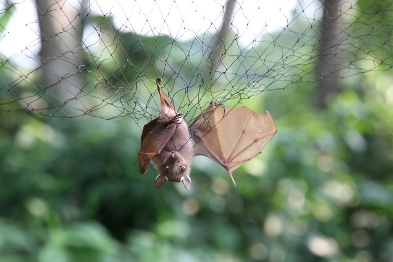 Bats are seen as a potential 'reservoir' - natural haven - for the Ebola virus