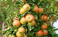 <p>Jonagold apples were first developed in New York state in 1968. They're big, crisp and juicy with a tart sweetness and notes of honey.</p>