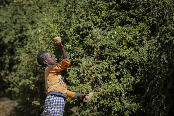 A farmer's daughter throws a rock to chase away swarms of locusts from her crops in Elburgon, in Nakuru county, Kenya Wednesday, March 17, 2021. It's the beginning of the planting season in Kenya, but delayed rains have brought a small amount of optimism in the fight against the locusts, which pose an unprecedented risk to agriculture-based livelihoods and food security in the already fragile Horn of Africa region, as without rainfall the swarms will not breed. (AP Photo/Brian Inganga)