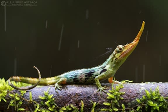 Once 'Extinct' Pinocchio Lizard Pokes His Nose Out
