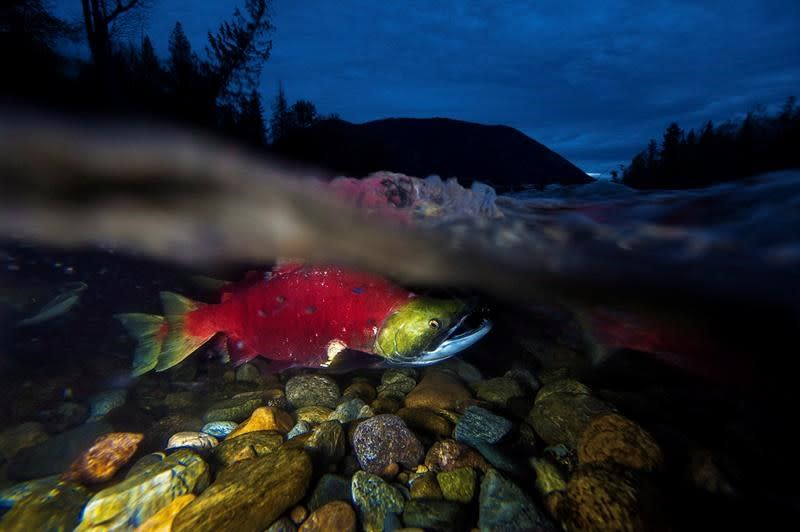 Minimal risk to wild salmon from viruses on farmed B.C. salmon: Fisheries Department
