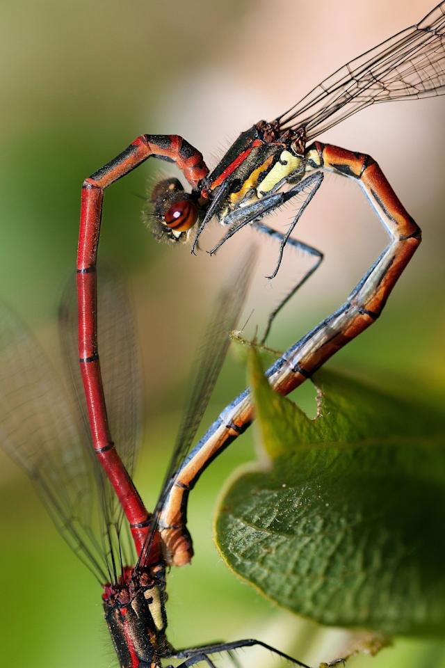 PIC BY TOM KRUISSINK / CATERS NEWS (PICTURED Mating Damselflies) With Valentines Day just around the corner its the time of year when love is in the air but as these pictures prove - its all over the earth too. These extraordinary images, taken by photographers across the globe, show Mother Nature is also gearing up to celebrate the big day with iconic heart shapes appearing all over the natural world. The charming pictures capture Mother Natures romantic side and feature several signs of love including an adorable fluffy penguin with a white heart emblazoned on its chest. Other natural displays include a flamingo creating a heart shape with its white and pink plumage and two swans which appear to kiss as they form a heart shape with their necks. SEE CATERS COPY