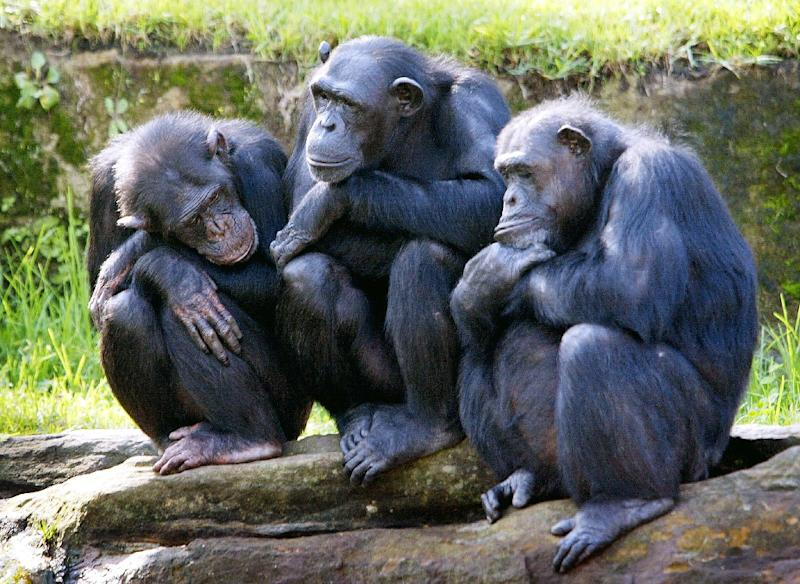 All four sub-species of the African chimpanzee are threatened with extinction, with at least one -- the western chimpanzee -- declining in number by more than 80 percent over three generations (AFP Photo/ROB ELLIOTT)