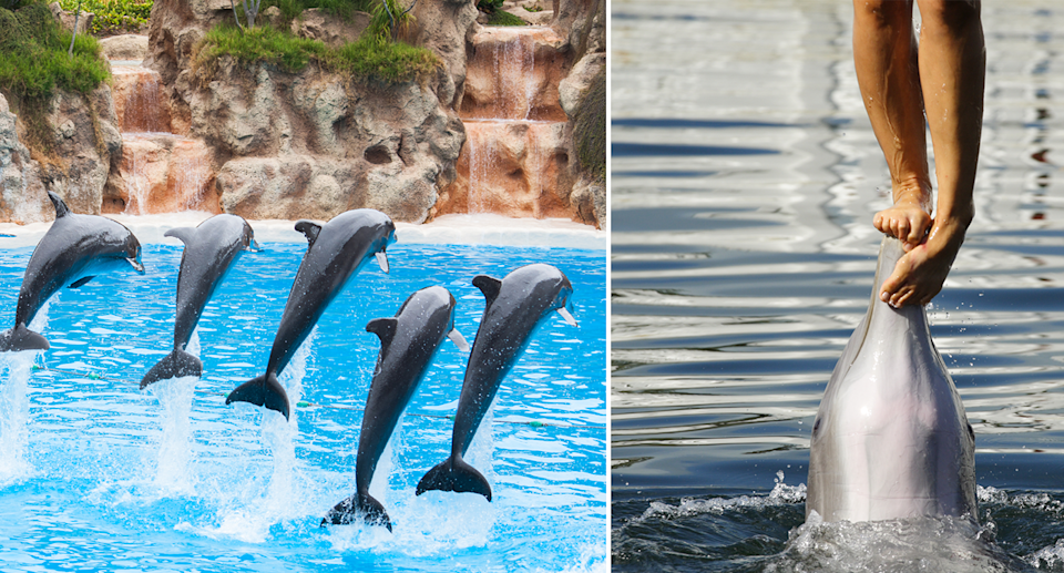 Split image, on the left five dolphins leaping during a show, on the right a shot of a trainer standing on a dolphins nose.