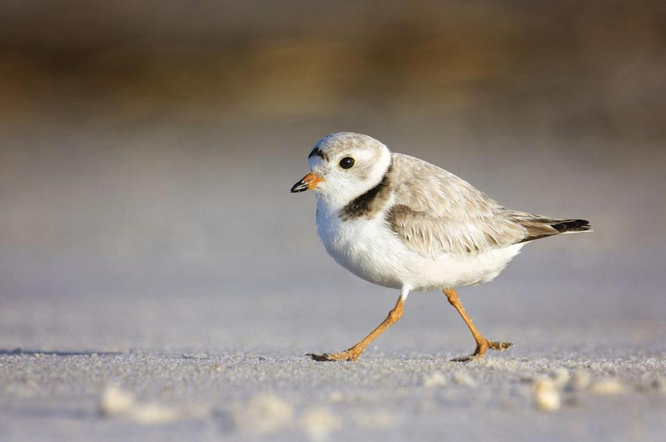 <p><strong>Piping Plover - </strong>Known for its bell-like whistles, this tiny bird can be found on Delaware shores. Another victim of human interaction, the plover's nests are often destroyed by beachgoers. </p>