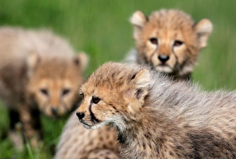 Newly-born cheetah cubs play in their enclosure at Prague Zoo, Czech Republic, July 31, 2017. Quintuplets of cheetah cubs were born on May 15 to their mother Savannah. REUTERS/David W Cerny