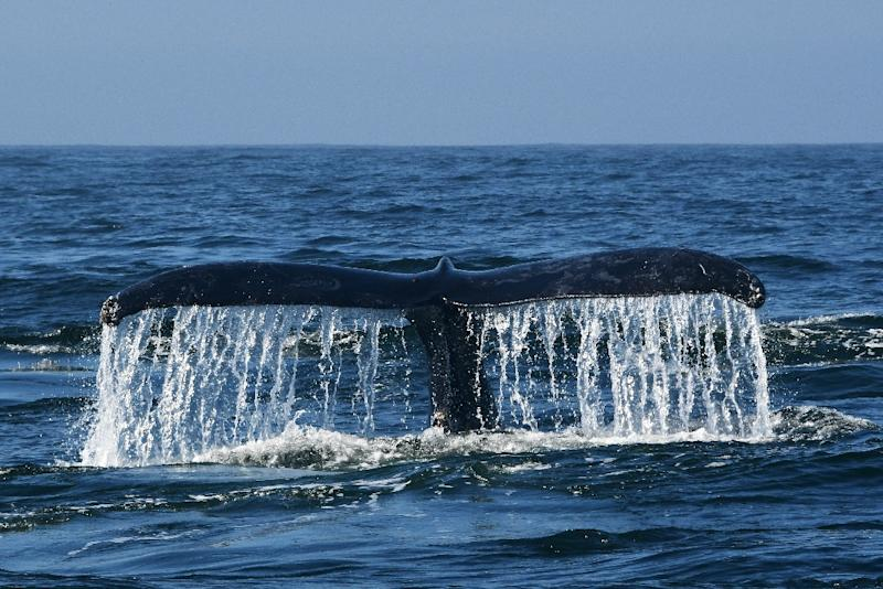 A humpback whale navigates the waters of Monterey Bay, California