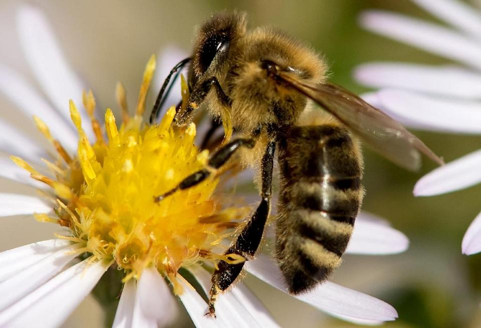 Research has linked two pesticides widely applied to canola, corn and soybean crops in Canada, clothianidin and thiamethoxam, to the collapse of bee colonies around the world (AFP Photo/Sven Hoppe)