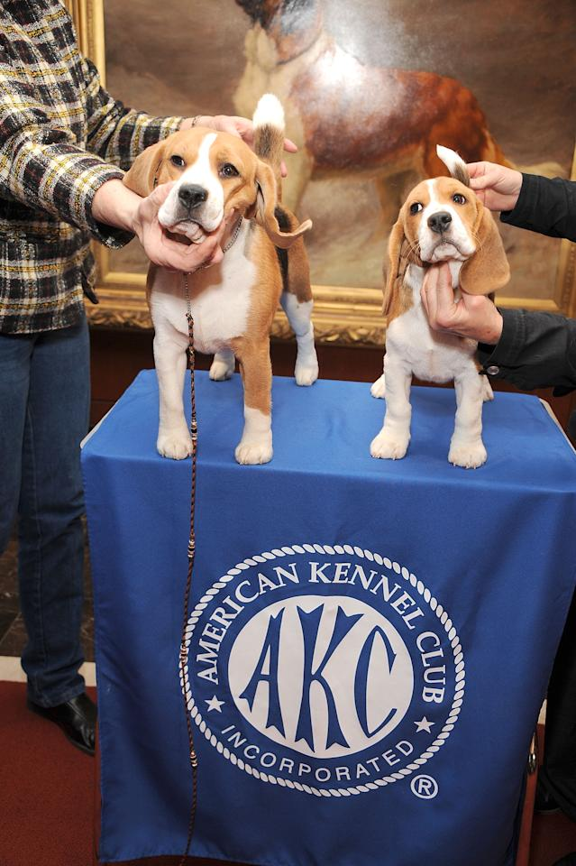 NEW YORK, NY - JANUARY 30:  Two  Beagles, Max (L) and Shiloh pose for pictures as the American Kennel Club Announces Most Popular Dogs in the U.S. on January 30, 2013 in New York City.  (Photo by Gary Gershoff/Getty Images for the American Kennel Club)