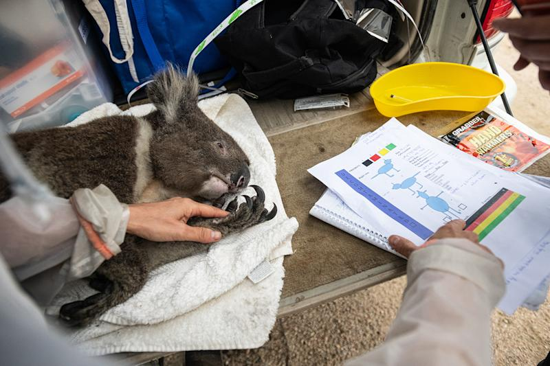 A dehydrated koala receives veterinary care. He will later be released into a surviving forest. Photo Credit: Jo-Anne McArthur/We Animals Media