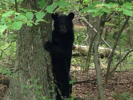 FILE PHOTO: A black bear stands in a wooded area in Newton