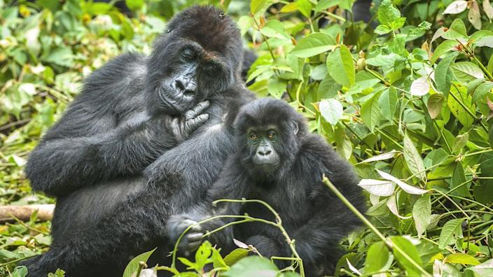 Gorillas in the mountains of DRC face threats from illegal hunting