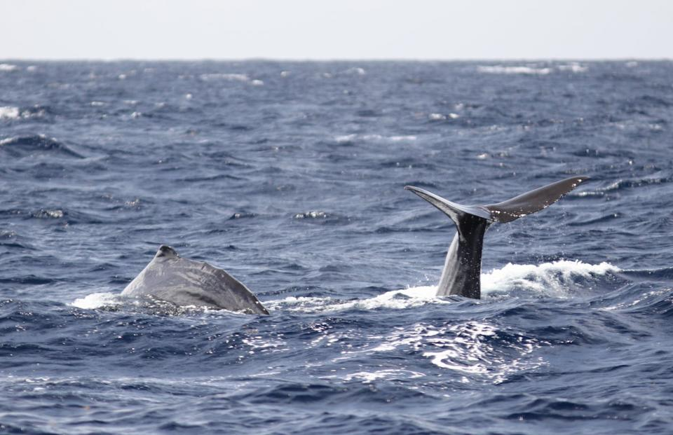 """<span class=""""caption"""">Two sperm whales diving together.</span> <span class=""""attribution""""><span class=""""source"""">Felicia Vachon</span>, <span class=""""license"""">Author provided</span></span>"""