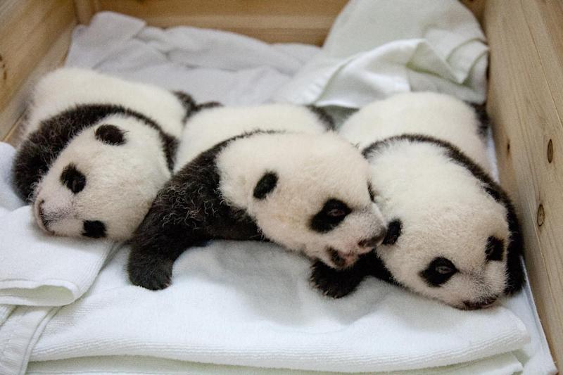 A set of giant panda triplets being shown to the public for the first time after they opened their eyes at Chimelong Safari Park in Guangzhou, south China's Guangdong province on September 18, 2014
