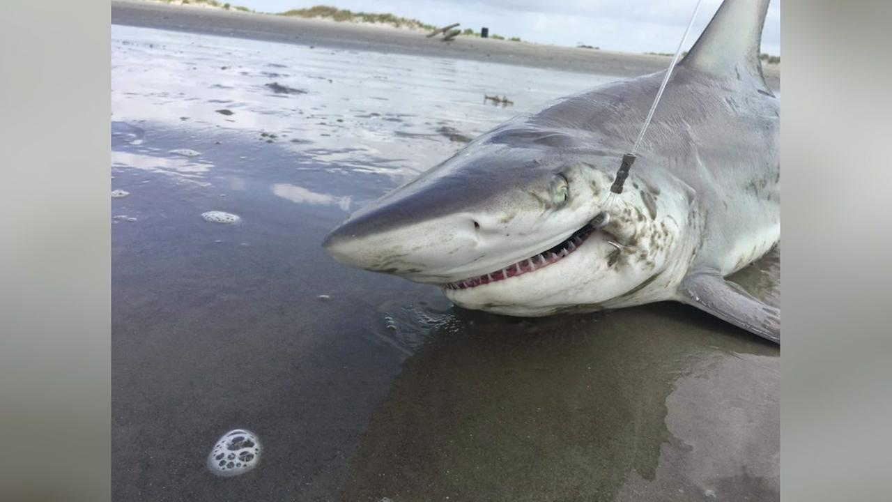 BIG CATCH:  Must-see video of two beachgoers hauling in shark with a very toothy grin