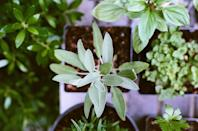 <p>Sage is commonly used for spiritual cleansing, but it's also helpful in keeping mosquitoes (and ticks) from getting too close for comfort. The smell of sage is what repels the bugs, but hummingbirds love it! Plant sage in your garden, or keep it in your home for cleansing purposes.</p>