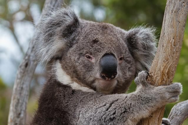 Koalas have been vulnerable to the bushfires spreading through several states in Australia (Photo:Getty)