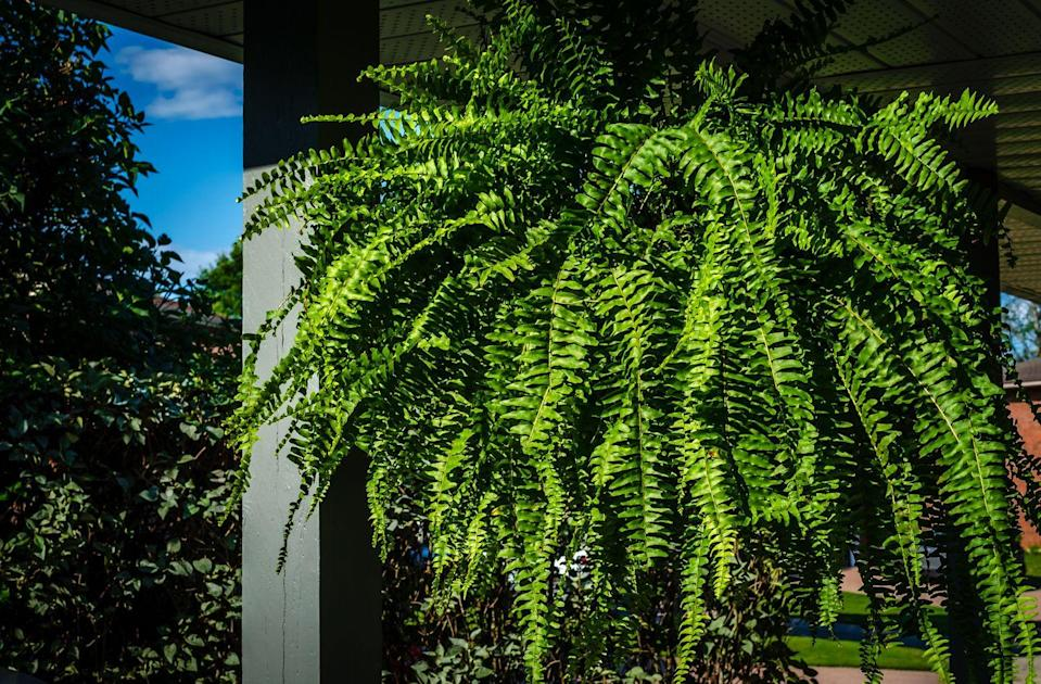 <p>This tropical houseplant only has one main drawback—it requires constantly moist soil. If you live in a more mild climate though, Boston ferns can prosper outside year-round too. </p><p><strong>Zones: 8b-12</strong></p>