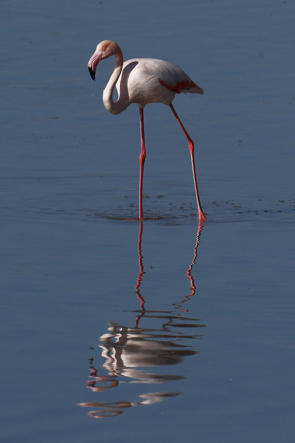 A flamingo stands in a salt lake in the southern coastal city of Larnaca, in the eastern Mediterranean island of Cyprus, Sunday, Jan. 31, 2021. Conservationists in Cyprus are urging authorities to expand a hunting ban throughout a coastal salt lake network amid concerns that migrating flamingos could potentially swallow lethal quantities of lead shotgun pellets. (AP Photo/Petros Karadjias)