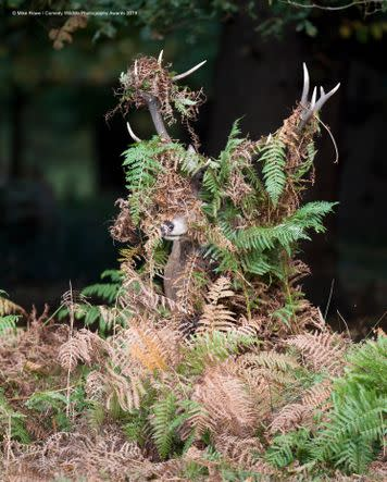 This bracken-covered spy was photographed in Richmond Park, UK.
