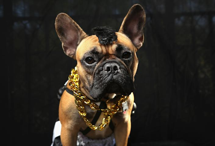 Gus, a boxer, poses as Mr. T at the Tompkins Square Halloween Dog Parade. (Photo by John Moore/Getty Images)