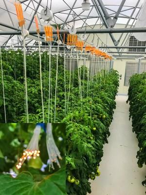 Fiber-coupled luminescent concentrators, using UbiQD quantum dots, deployed over a row of tomatoes in a commercial hydroponic greenhouse. Inset: Close-up of the fiber tips, where light is delivered to the lower canopy. Credit: UbiQD, Inc.