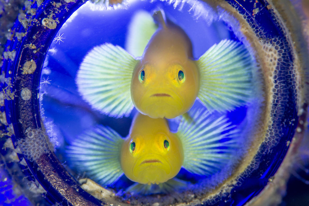 <p>These golden gobies made a discarded bottle on the sea floor their home, Osezaki, Nishi-Izu, Shizuoka Prefecture, Japan, Nov. 6, 2016. I felt as if the couple came up to greet me at the door. (Photograph by Toru Kasuya) </p>
