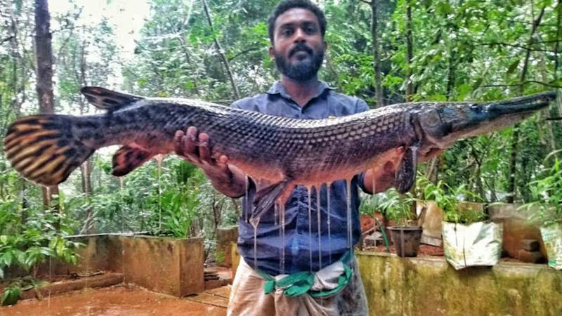 A man displays an alligator gar caught from a river in Kerala. The fish can measure up to three metres in length and could put the native fish species at risk. Image credit: Smrithy Raj.