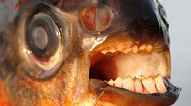 A close-up of the pacu fish. Photo: The National History Museum of Denmark